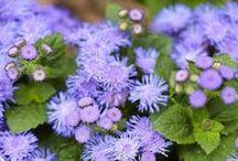 Purpule flowers