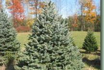 Christmas Tree Varieties  / Christmas trees types that we either currently grow or have grown in the past.