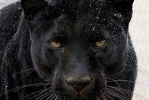 ♦️L'ensorceleuse ♦️ / Panthère noire