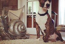Layka / Bullterrier lover