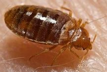 Bed Bugs / What do bed bugs look like? Take a look at our bed bugs pictures.