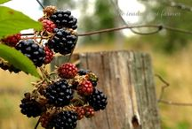 Blackberry way / Blackberries / by Wedding and event hire Yeovil Somerset