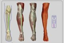 Anatomy Leg