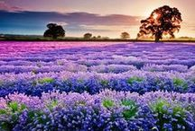 Lavender Lovers / All things Lavender!