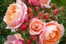 Rosen, Tulpen, Nelken / Blumen