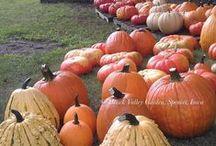 Pumpkins / Dýně