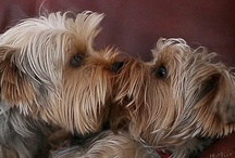 Yorkie Photos / cute photos of the best dog in the world :) #Yorkies