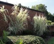 Reeds, Rushes, Grasses / Only a small number of reeds and rushes were named in the Bible. Many are in our Bible garden. In most cases Grass was a generic term without any specific grass named. Bible botanists identified some.