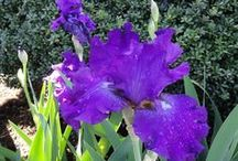 Irises / I admit it; I think that the iris is one of the most beautiful plants in nature.