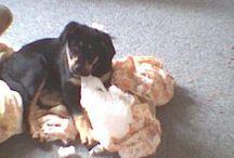 Biff / Biff, my New Zealand Handy Huntaway Collie Dog.
