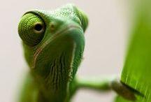 chameleon, reptil...