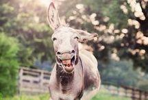 Darling Donkey's
