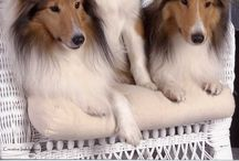 Shelties and doggies I LOVE!!!!❤ / All puppies are angels from god! You will never be loved more then by them!! / by Dianne Dale