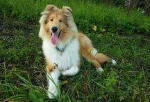 My dog - collie Dubi / Мой любимый пес Даби в объективе фотокамеры:)