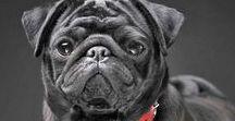 Pugzzz... / #pug #puglife #pugslife