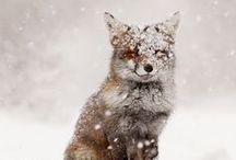 Fuchsis