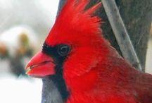 Magnificent Cardinals