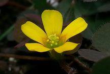 Flores silvestres de Galicia / Fotografías de plantas y flores de  Galicia