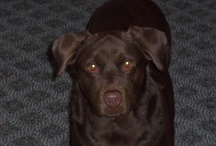 Dogs, dogs, dogs... / My husband kept insisting that someday, he wanted a chocolate lab...hectic summer schedules settled down and there Ginger's picture was in the newspaper...up for adoption...a day later, she joined our family and both she, and we, have been blessed!