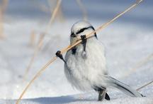 OISEAUX - BIRDS - VOGELS - PAJARO (AVE)