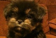 Shih Tzu love / Shih Tzu dogs / by Tish Odom