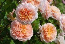 Roses / Jolies roses de toutes sortes. / by Isabelle Robert