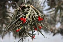 AIRPLANTS / Enjoy these magnificent plants named tillandsia. They look amazing and don`t need soil to live in.