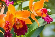 Orkideer - den letteste blomst...