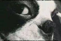 Boston Terriers / Everything Boston