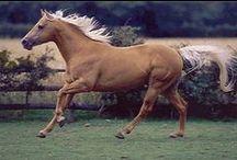 American Quarter Horse / Most Popular Breed