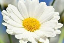 Craisy Daisy / Daisy ways,daisy ways,love daisies!Always been a favorite craze!