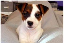 I <3 Jack russels