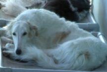 Borzoi / Borzois and their Kuranda beds! / by Kuranda Dog Beds