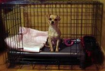Chihuahua / Chihuahuas and their Kuranda beds! / by Kuranda Dog Beds