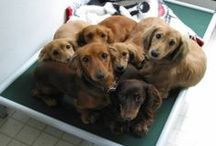 Dachshund / Dachshunds and their Kuranda beds! / by Kuranda Dog Beds