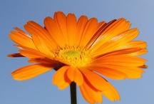 Floral curiosities / Leyendas, mitología, propiedades,... todo tipo de curiosidades relacionadas con las flores