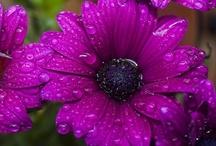 Raindrops / Gotas de agua sobre bellas flores...
