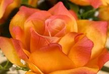La bella Rosa / The beautiful Rose