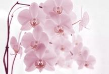 Orquídeas / Orchids