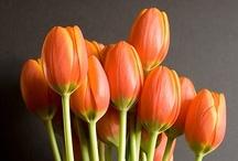 Tulipanes / Tulip