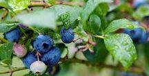 "blåbärsskogen / Swedish: ""Blueberry Wood"""