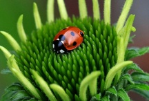 Ladybugs / by Amy Johnstone