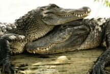 Crocs / Our favorite unreal and awe-inspiring photos of the Croc; king of the reptiles and the most fearsome creature in Australia! #CarefulItBites