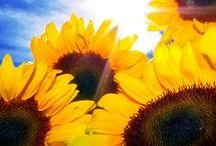Sunflowers / by Amy Johnstone