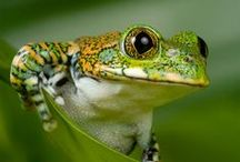 FROGS AND LIZARDS / Amphibians I like