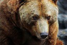 Brown bear photographs