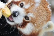 Red panda photographs