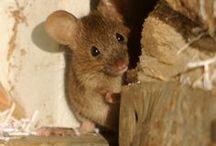 RATAS Y RATONES (Rattus rattus) /  Es de suponer que ratas (Rattus rattus), (Rattus norvegicus) y ratones (Mus musculus) alcanzaran las islas Canarias de un modo accidental, a bordo de embarcaciones.