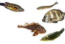 Les poissons - Gérald Passedat / Depuis des années, de nombreux pêcheurs apportent directement de leur bateau leur pêche du jour au Petit Nice. Plus de soixante-cinq variétés de poissons défilent ainsi : denti, daurade, pélamide, merlan, sarran, pagre, murène, toujours ultra-frais et préservés de la glace.
