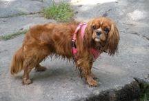 Sophie / A v cute & clever Cavalier KC Spaniel